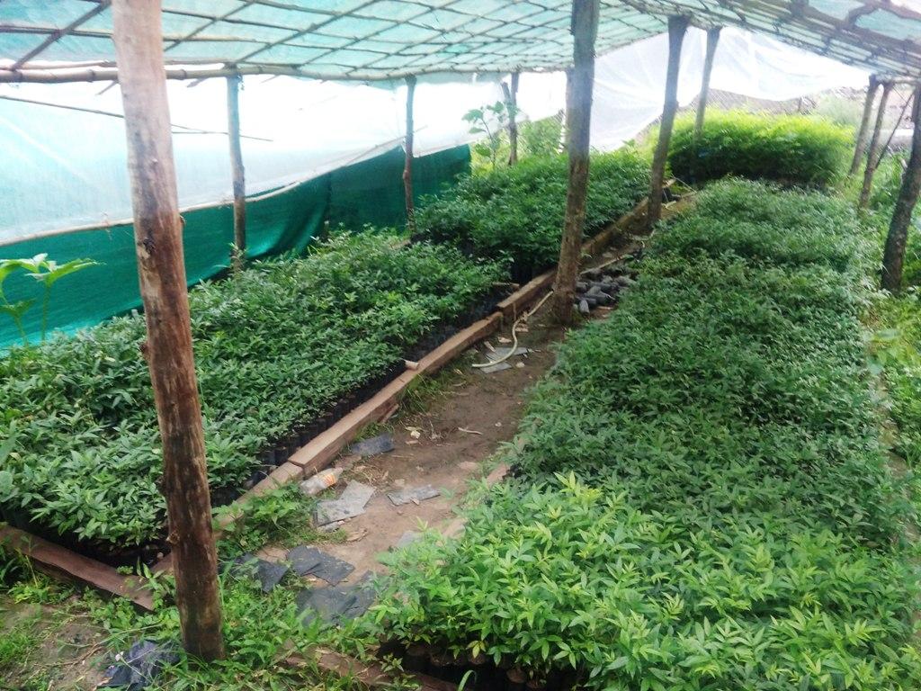 विश्व वृक्षारोपण दिवससँगै जडिबुटी रोपियो