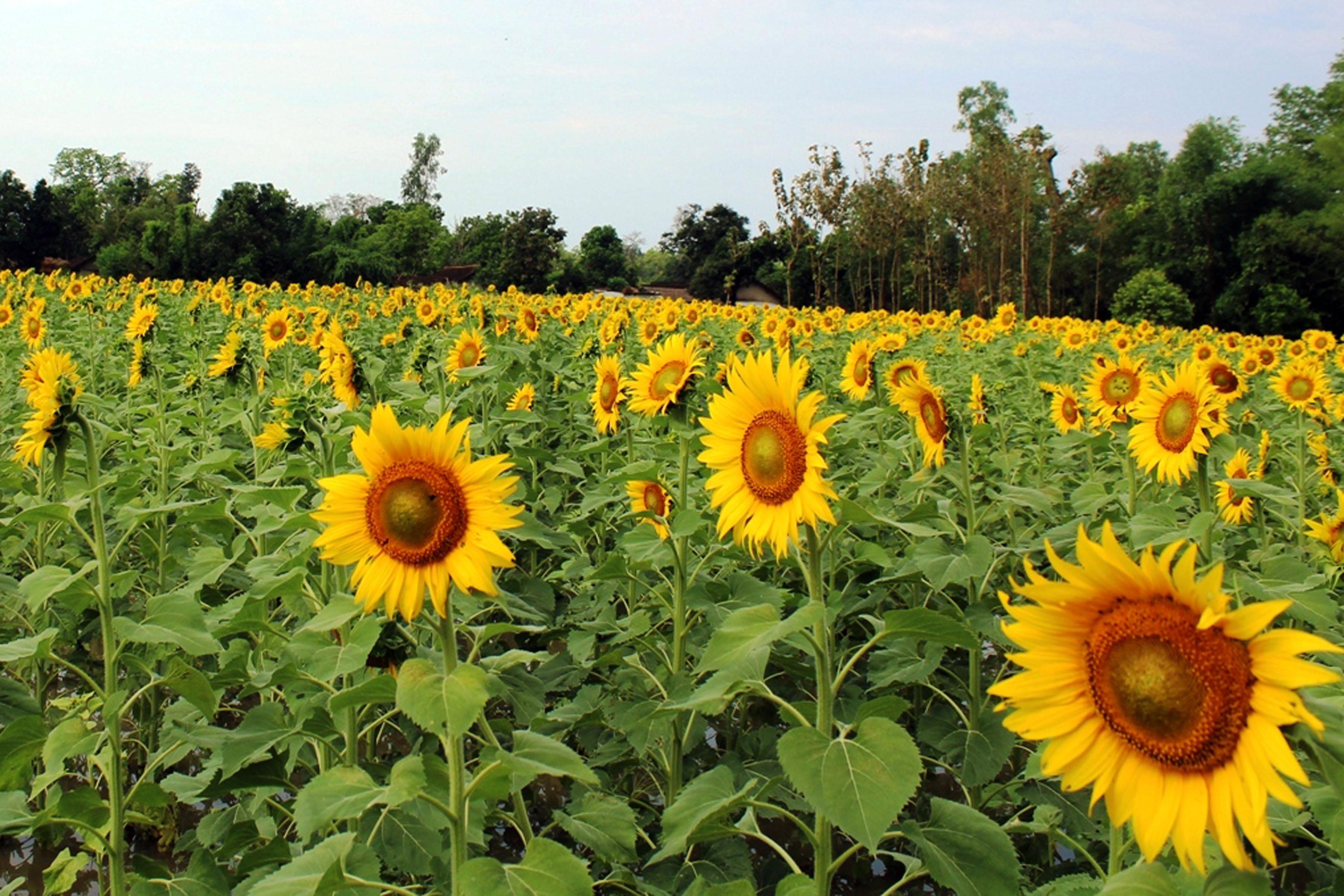 तोरीबालीको सट्टामा सूर्यमुखी फूलको खेती