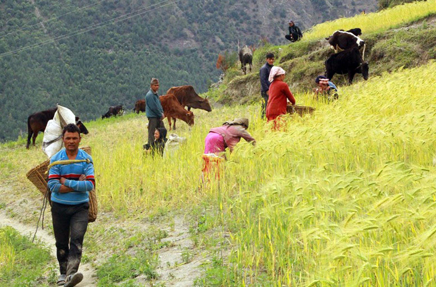 मुगुका किसानलाई जौ र गहुँ टिप्न चटारो