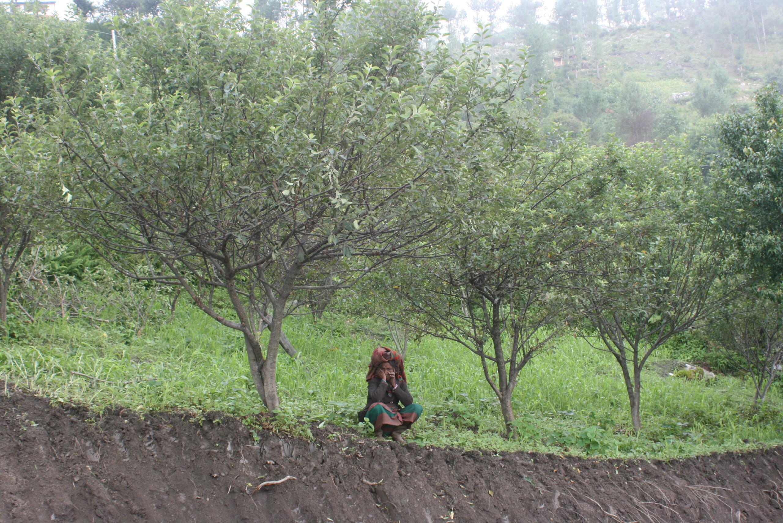स्याउ नफलेपछि कृषक मर्कामा