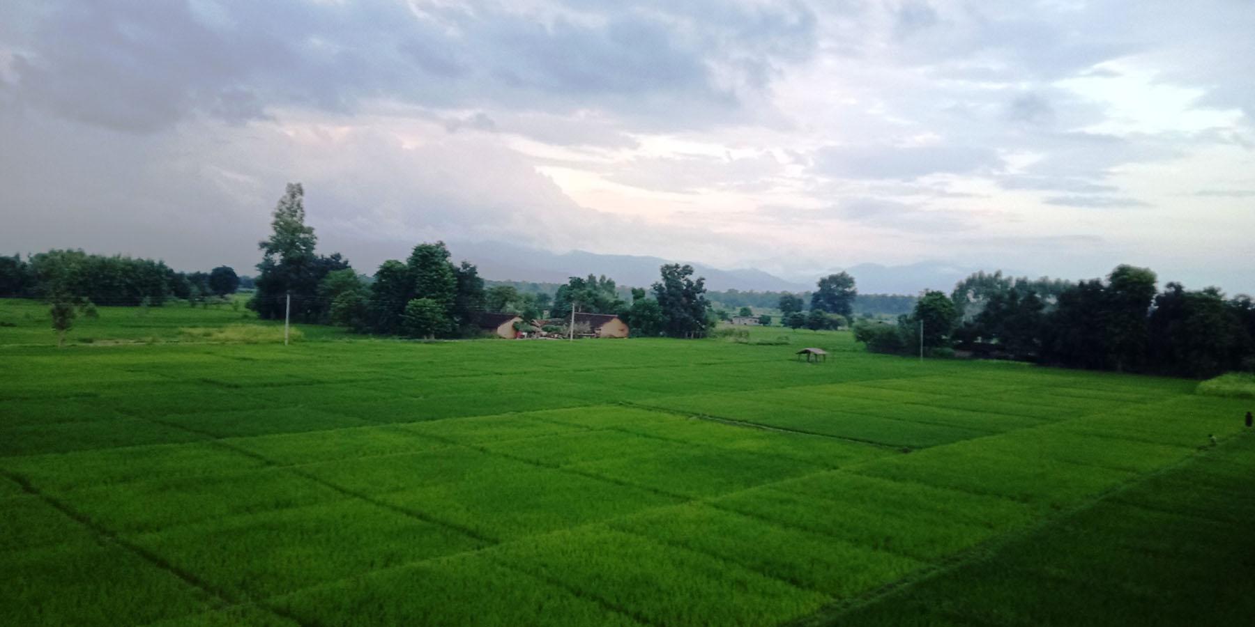 धानका हरियाली फाँट