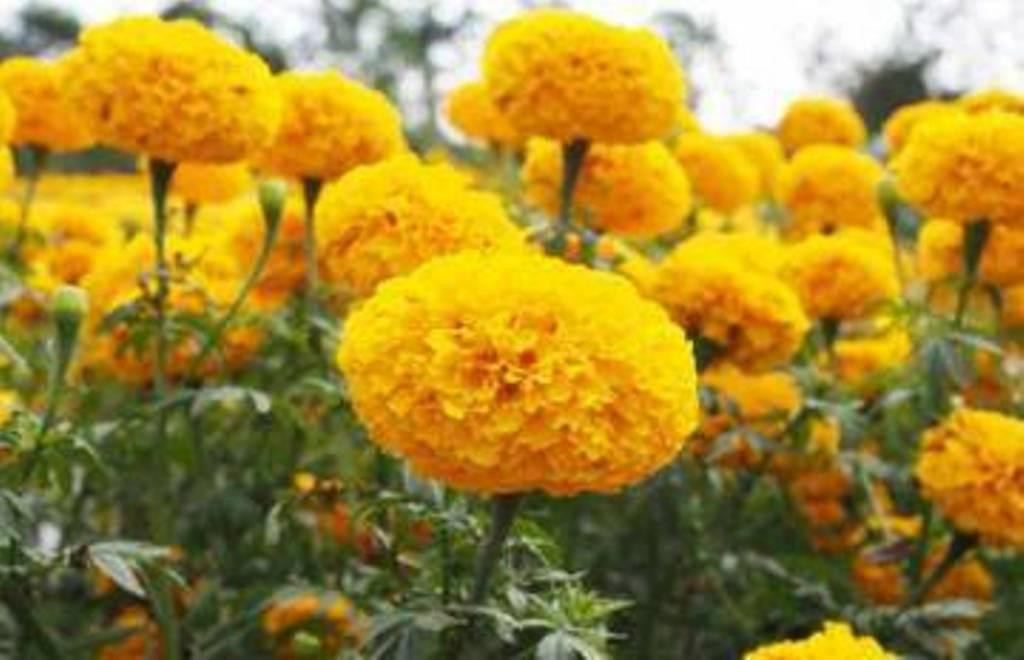 नेपाल फूलमा आत्मनिर्भर हुँदै